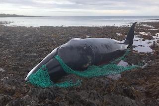 Balena incinta uccisa in modo atroce da un rete da pesca: è l'ultima vittima di un massacro continuo