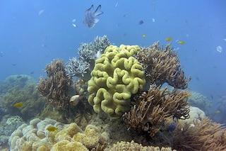 """Grande Barriera Corallina, rilasciati in mare milioni di """"baby coralli"""" per salvarla"""