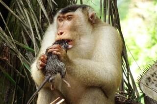 I macachi che mangiano ratti possono rendere l'olio di palma più rispettoso dell'ambiente