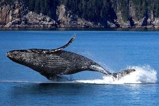 """Le balene possono """"curare"""" i cambiamenti climatici: così eliminano la CO2 dall'atmosfera"""