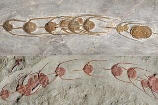 """Questo meraviglioso fossile di 480milioni di anni ci racconta la prima """"processione"""" nota di animali"""