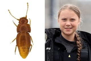 Nuova specie di insetto dedicata a Greta Thunberg: il Nelloptodes gretae è un piccolo scarabeo cieco