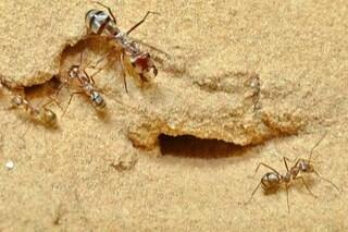La formica d'argento del Sahara è la più veloce del mondo: 'vola' sulla sabbia bollente