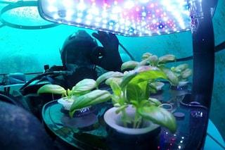 Il basilico cresce più verde, aromatico e ricco di antiossidanti nel cuore di serre sottomarine