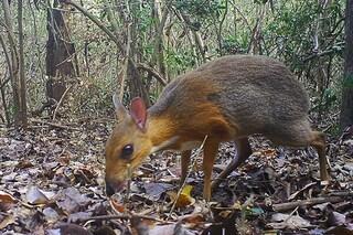 """Rarissimo """"cervo topo"""" fotografato in Vietnam a 30 anni dall'ultimo avvistamento"""