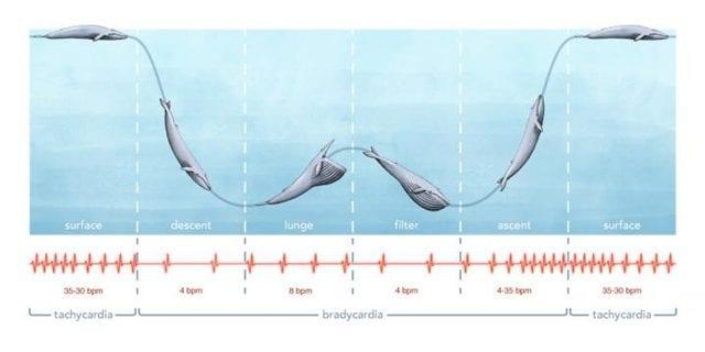 La frequenza cardiaca della balenottera azzurra. Credit: Alex Boersma