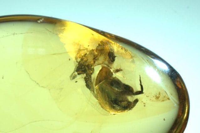 Blocco d'ambra con insetto impollinatore. Credit: Istituto di geologia e paleontologia di Nanchino