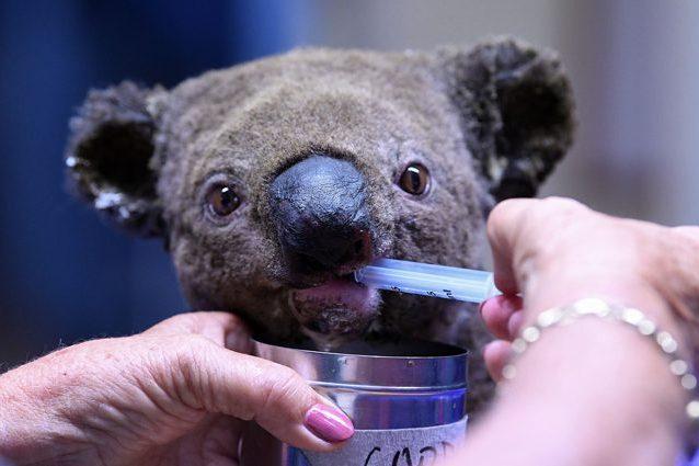 Un koala salvato dai roghi di Port Macquarie