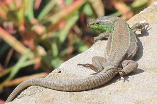 Nuova specie di rettile scoperta sulle isole Pontine: chi è la lucertola di Lataste