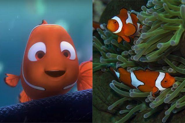 """A sinistra """"Nemo"""" di """"Alla Ricerca di Nemo"""", a destra pesci pagliaccio in un anemone. Credit: Pixar/Screenshot Youtube– Simon Thorrold (WHOI)"""