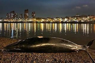 Balena trovata morta a Londra, lungo le sponde del Tamigi: terzo caso in due mesi