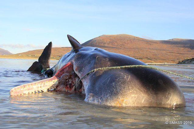 La carcassa del capodoglio trovato sull'isola di Harris, in Scozia. Credit: SMASS