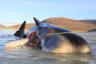 Capodoglio con 100 kg di plastica nello stomaco trovato morto su una spiaggia