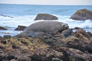 Elefante marino antartico avvistato per la prima volta su una spiaggia tropicale dello Sri Lanka