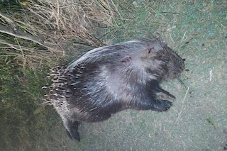Una femmina di istrice incinta e un tasso uccisi a fucilate dai cacciatori di frodo
