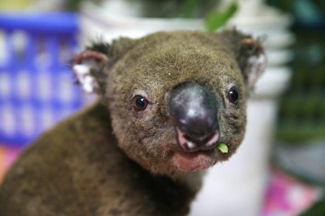 Un koala salvato dalle fiamme