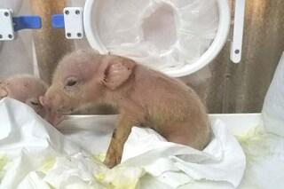 Primi ibridi maiale scimmia nati in Cina: sono morti pochi giorni dopo la nascita