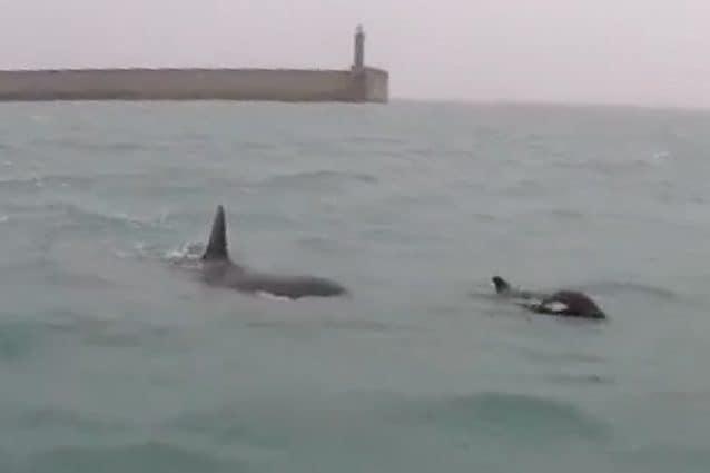 Le orche avvistate nelle acque liguri, un cucciolo con quella che potrebbe essere sua madre. Credit: LIMET/Facebook