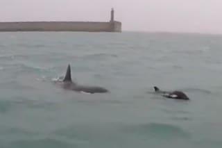 Orche avvistate nel porto Prà Voltri di Genova, c'è anche un piccolo: le immagini straordinarie