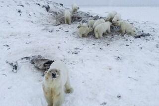 Decine di orsi polari affamati invadono villaggio russo: nutriti con carcasse di trichechi