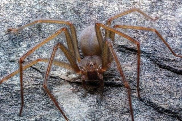 La nuova specie di ragno violino. Credit: ZooKeys