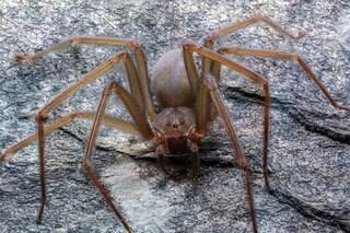 """Scoperta nuova specie di ragno violino: il suo veleno """"scioglie"""" i tessuti"""