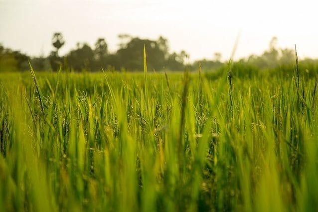 Un campo di riso. Credit: 9bombs