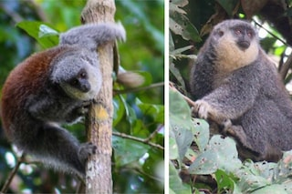 Nuova specie di scimmia titi scoperta nel cuore della Foresta Amazzonica
