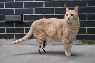 """Vito, il gatto """"bionico"""" italiano: ha due protesi al posto delle zampe"""