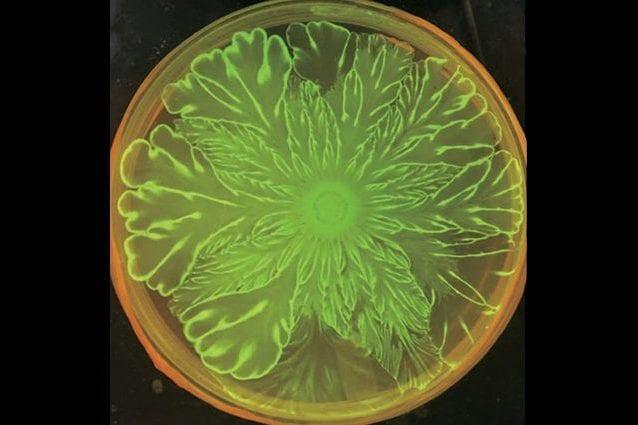 La coreografia floreale dei batteri. Credit: Xiong et al., ELife, 2020