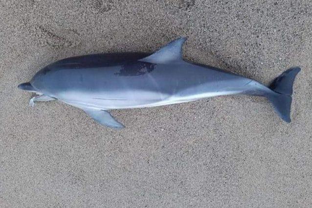 Il delfino spiaggiato in Cornovaglia. Credit: Christine Rosser