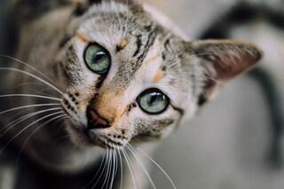 I gatti apprezzano la carne umana: filmati due esemplari mentre si nutrono di cadaveri