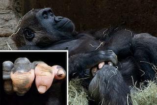 """La mano del gorilla sembra """"umana"""": Anaka è nata senza pigmentazione"""