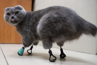 Questo gatto colpito da congelamento è tornato a camminare grazie a 4 zampe in titanio