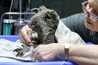 Incendi in Australia, come adottare un koala a distanza e aiutare la specie