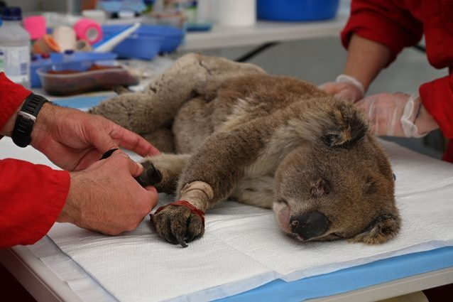 Un koala salvato presso il Kangaroo Island Wildlife Park