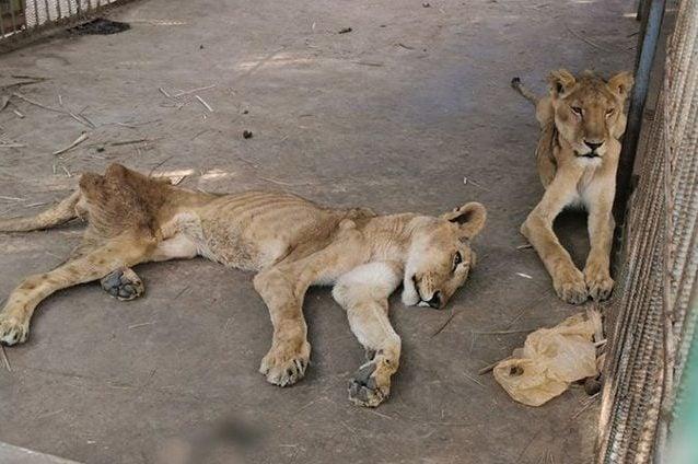 Due leoni denutriti nello zoo del Sudan. Credit: Osman Salih