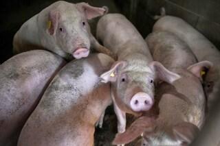 Coronavirus dei maiali si replica nelle cellule umane: c'è il rischio di un nuovo salto di specie