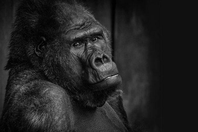 Il gorilla Massa. Credit: Kfrefeld Zoo