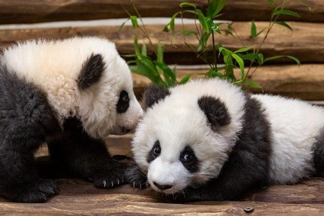 I panda gemelli nati allo zoo di Berlino Meng Xiang e Meng Yuan, conosciuti anche come Pit e Paule. Credit: Zoo di Berlino