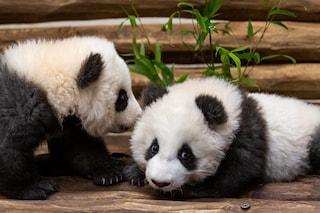 Cuccioli gemelli di panda nati in Germania: Pit e Paule pronti per il debutto in pubblico