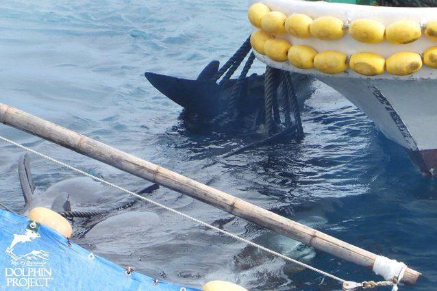 I delfini legati dopo la cattura. Credit: Dolphin Project
