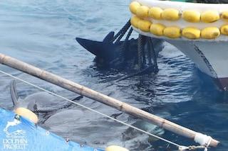 Ennesimo massacro di delfini in Giappone: 22 peponocefali legati per le pinne e macellati