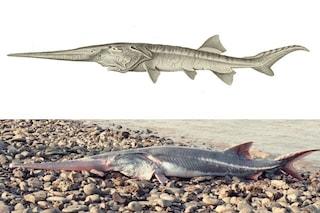 Il primo animale estinto del 2020 è il pesce spatola cinese: era tra i più grandi al mondo