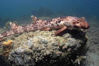 Scoperte quattro specie di squalo in grado di camminare sulle pinne: il video