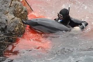 Giappone, delfino catturato prova a fuggire e si ferisce: sub lo trascina al macello
