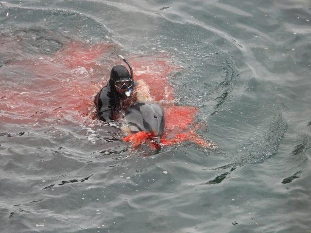 L'esemplare ferito viene condotto sotto il tendone per essere macellato. Credit: Dolphin Project