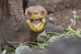 La tartaruga gigante Diego torna a casa: ha salvato la sua specie dando vita a 800 figli