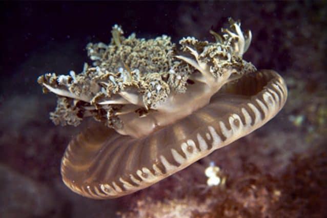 Cassiopea xamachana medusa al contrario proiettili veleno