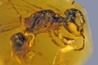 La più antica ape impollinatrice in un meraviglioso fossile d'ambra di 100 milioni di anni